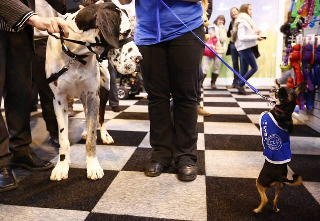 A Great Dane looks at a chiwawa during the first day of the Crufts dog show in Birmingham, central England March 6, 2014. (Photo by Darren Staples/Reuters)