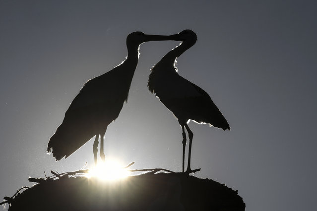 The sun shines as two storks stay in a bird-nest in Salem, Germany, Thursday, February 28, 2019. (Photo by Felix Kaestle/dpa via AP Photo)