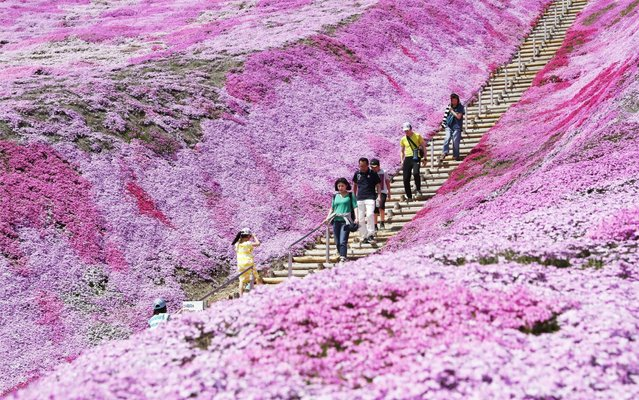 Visitors stroll through a carpet of moss flowers, called shibazakura in Japanese, in full bloom at Shibazakura Park in the Hokkaido town of Ozora on May 19, 2019. (Photo by Kyodo News via Getty Images)