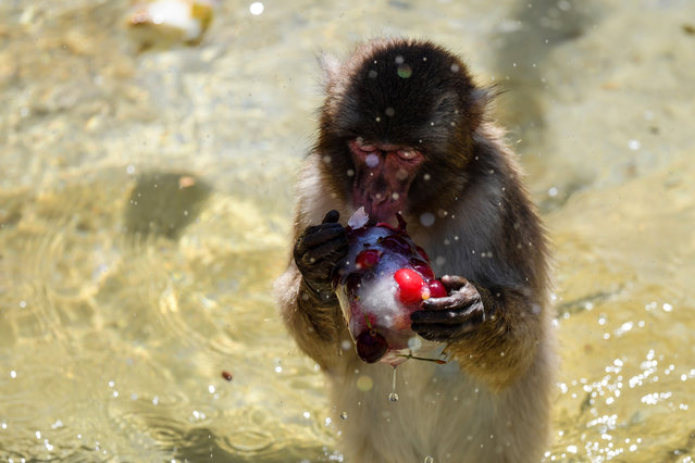 A monkey eats iced cherries to cool off at the Rome zoo (Bioparco di Roma) as temperatures reach 36 degrees Celsius on June 27, 2019 in the Italian capital. (Photo by Tiziana Fabi/AFP Photo)