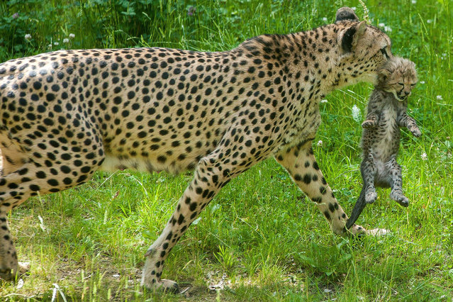 Young cheetahs in Zoopark Erfurt, Germany on June 17, 2015. Gepardin brought at 6 May six Healthy Katzenkinder to World. (Photo by Imago/ZUMA Wire)