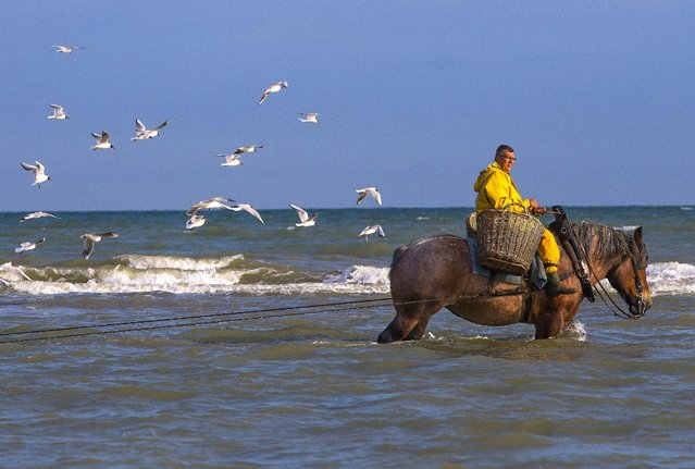 A Belgian shrimp fisherman rides a carthorse to haul a net out in the sea to catch shrimps during low tide at the coastal town of Oostduinkerke, Belgium July 3, 2015. (Photo by Yves Herman/Reuters)