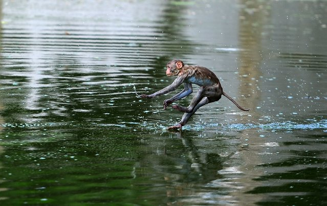 A monkey leaps into a pond on a hot day in Allahabad on May 19, 2017. According to local reports temperatures have soared in the northern Indian city to 47.28 Celsius. (Photo by Sanjay Kanojia/AFP Photo)