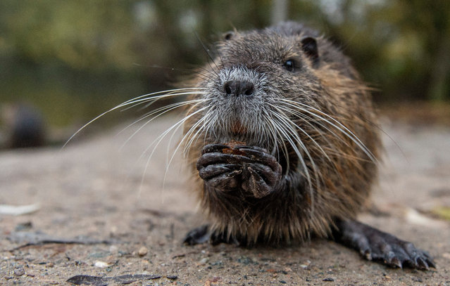 A young nutria rat at the Mönchbruch nature reserve in Kelsterbach, western Germany on November 18, 2019. (Photo by Dorothee Barth/AFP Photo)