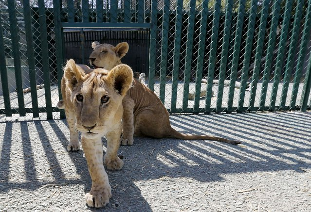 Seven-month-old lion cubs, Mona and Alex, are seen inside their enclosure after their arrival in Amman, Jordan, July 23, 2015. Two lion cubs rescued from Gaza earlier in July have found a new home at a wildlife sanctuary in neighbouring Jordan. The seven-month-old cubs were removed from the Gaza home of a Palestinian refugee, according to Mahdi Quatrameez, the Chief Executive Officer (CEO) of the Amman-based Al Ma'wa for Nature and Wildlife (MNW). (Photo by Muhammad Hamed/Reuters)