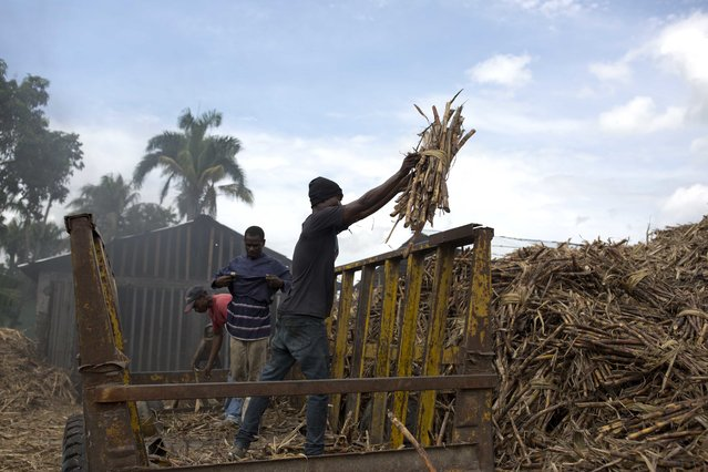 In this June 16, 2017 photo, workers unload sugar cane at the Ti Jean distillery, which produces clairin, a sugar-based alcoholic drink in Leogane, Haiti. Workers said that they earn a salary of 800 gourds, or $12.50 dollars, for each truck they fill with cane and that they manage to fill one truck in two days. (Photo by Dieu Nalio Chery/AP Photo)