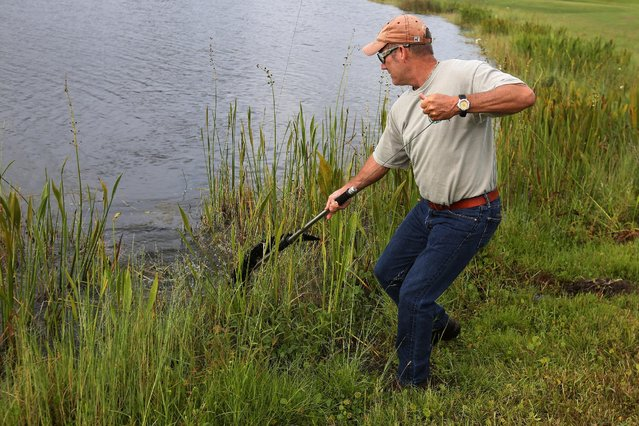 Alligator trapper Mark Whitmire traps an alligator in a lagoon on golf course to relocate it to a more natural environment in Orlando, Florida, U.S., June 19, 2016. (Photo by Carlo Allegri/Reuters)