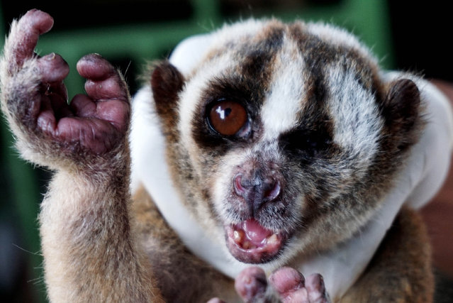 A Javan slow loris, confiscated from people trying to sell it as a pet, is treated by a medical team from the charity International Animal Rescue at Mount Sawal in Ciamis, West Java, Indonesia on July 3, 2016. (Photo by Jefta Images/Barcroft Images)
