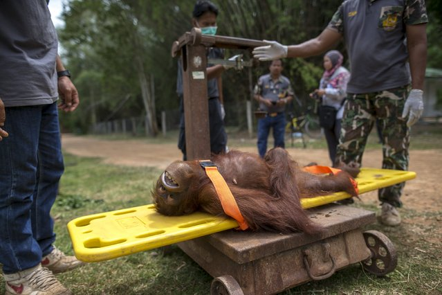 Wildlife officers measure an orangutan's weight during a health examination at Kao Pratubchang Conservation Centre in Ratchaburi, Thailand, August 27, 2015. (Photo by Athit Perawongmetha/Reuters)
