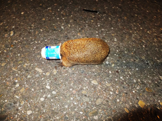 This hedgehog got it's nose stuck in a yoghurt pot.  Returning to the police station after a night dealing with burglaries, car crashes and a punch up in a betting shop, the last thing two German police officers expected was this prickly customer in the headlights of their patrol car. (Photo by Europics agency)