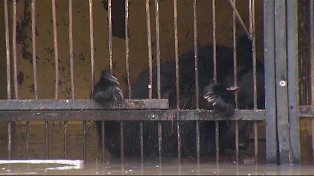 In this image taken from a bear stands in a flooded cage at a zoo in the city of Ussuriysk eastern Russia Monday August 31, 2015. The flood  swept through a private zoo in Russia's Far East, trapping 14 brown bears and a lion in their half-submerged cages. (Photo by AP Photo/RTR)
