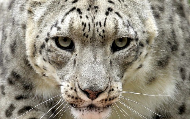 Villy, a male snow leopard, in an enclosure at the zoo in Zurich, Switzerland, on July 11, 2012. (Photo by Arnd Wiegmann/Reuters)