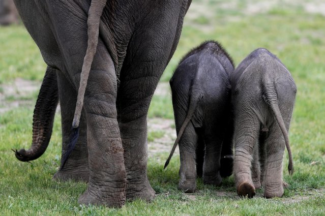 A newly born female Asian elephant calf (R) walks next to its one month-old sister in their enclosure at the Prague Zoo in Prague, Czech Republic, May 13, 2020. (Photo by David W. Cerny/Reuters)