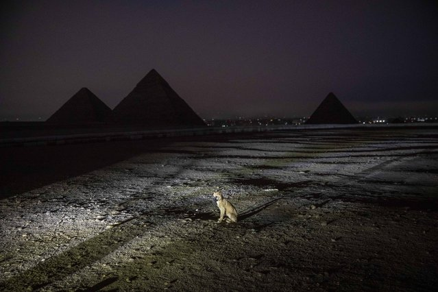 A puppy sits near the pyramids before the Ministry of Antiquities lights up the Giza Pyramids in an expression of support for health workers battling the coronavirus, in Giza, Egypt, Monday, March 30, 2020. The Egyptian government extended the closure of the country's famed museums and archaeological sites, including the Pyramids and the Sphinx at Giza, until at least April 15. (Photo by Nariman El-Mofty/AP Photo)