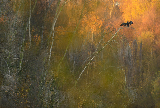 """""""Fast forward to autumn and the birds are still on site, using the trees as a safe place to roost each evening. I wasn't entirely sure if they'd actually do this at this particular spot, but took a chance when I was visiting one morning. Luckily, a bird was there, drying its wings in the first rays of morning sunshine. The orange autumnal glow of the leaves being illuminated by the rising sun was incredibly fortuitous, but sometimes nature rewards you for repeat visits to the same spot"""". (Photo by Ben Andrew/British Wildlife Photography Awards 2017)"""