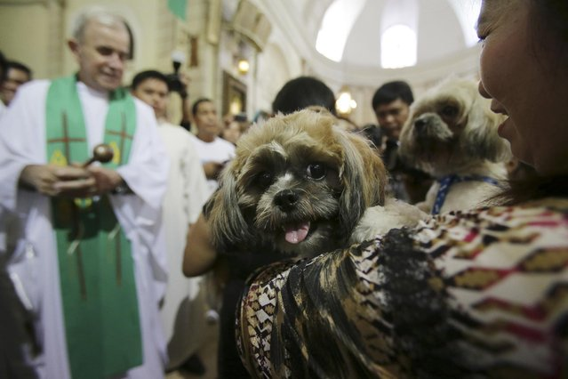 Filipino pet owners carry their dogs as a Catholic priest prepares to bless them during rites at the Our Lady of Remedies Parish Church at Malate district, Manila, Philippines on Sunday, October 5, 2014. (Photo by Aaron Favila/AP Photo)