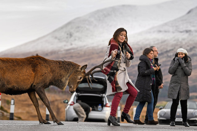 Tourists photograph a red dear stag visiting a car park near Glen Coe on December 1, 2017 in Glen Coe,Scotland. On the first day of the meteorological calendar, the UK was experiencing slightly warmer temperatures today with weather forecasters indicating that the recent cold spell is almost over. Yesterday's snow across eastern parts of England is expected to melt away over the course Friday as temperatures start to rise. (Photo by Jeff J. Mitchell/Getty Images)