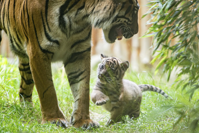 In this undated handout photo provided by the Wroclaw zoo, a little tiger plays with its mother at the zoo in Wroclaw, Poland on July 23, 2020. (Photo by Wroclaw Zoo via AP Photo)