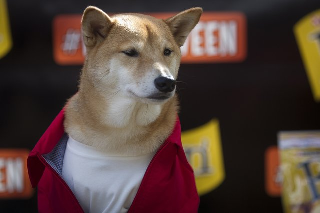 """A dog known as """"Menswear Dog"""", a 5-year-old Shiba Inu, poses for photos during the 24th Annual Tompkins Square Halloween Dog Parade in New York October 25, 2014. Hundreds of dog owners dress their dogs and compete for fun and prizes during the parade. (Photo by Carlo Allegri/Reuters)"""