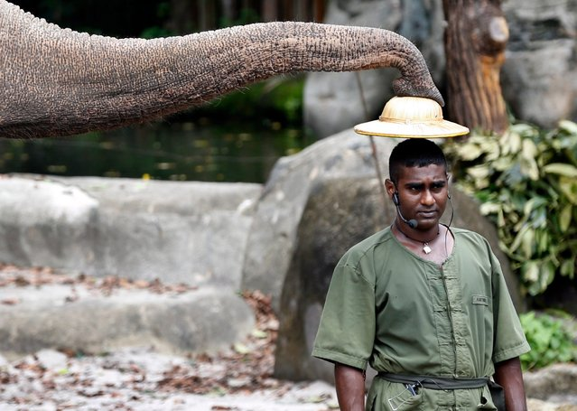 An Asian Elephant uses its trunk to place a hat on the head of its handler during the Elephants of Asia show at the Singapore Zoo in Singapore, 20 February 2013. There are over 315 animal species, of which some 16 percent are considered threatened, at the Zoo which attracts about 1.6 million visitors per year. (Photo by Stephen Morrison/EPA)