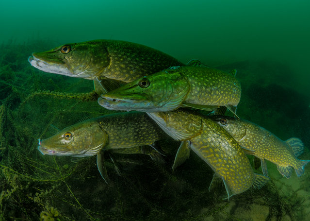 """Most promising British underwater photographer of the year – winner. """"How many pike?"""" by Tony Stephenson (UK). Location: Stoney Cove, Leicestershire, UK. Stephenson noted that this """"group"""" of male pikes were looking for a mate. Once they found one they pursued her relentlessly and were completely transfixed on gaining her attention. This allowed him to get close in front of the fish, fill the frame and led to him getting lots of good eye contact. (Photo by Tony Stephenson/UPY 2018)"""