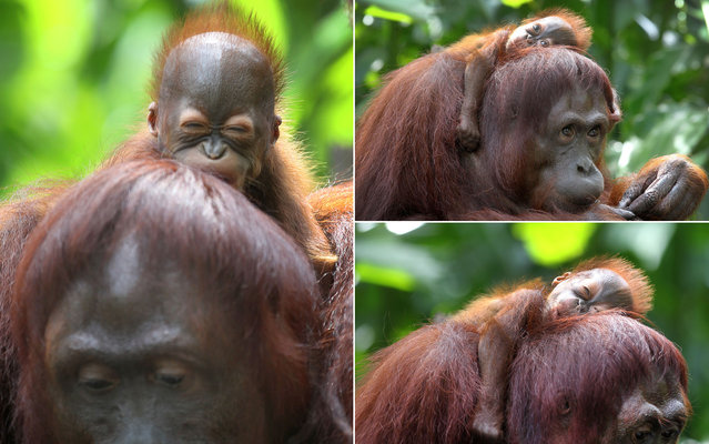 A 1-month-old endangered Bornean orangutan sleeps on his mother, Miri, in Singapore on March 6, 2013. The Singapore Zoo is renowned for its flagship animal, the orangutan, and exhibits the endangered Bornean and critically endangered Sumatran subspecies in a social setting. It is also known for its efforts in promoting and educating the public about the importance of wildlife conservation. (Photo by Wong Maye-E/AP Photo)