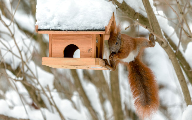 The squirrel steals food from a bird's feeding trough in Bargteheide, Germany, on March 11, 2013. (Photo by Markus Scholz/AFP Photo)