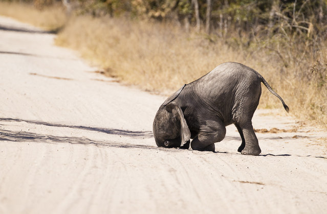 An adorable baby elephant appears to face plant the ground, Hwange, N.P, June, 2015. (Photo by Markus Pavlowsky/Barcroft Images/Comedy Wildlife Photography Awards 2016)