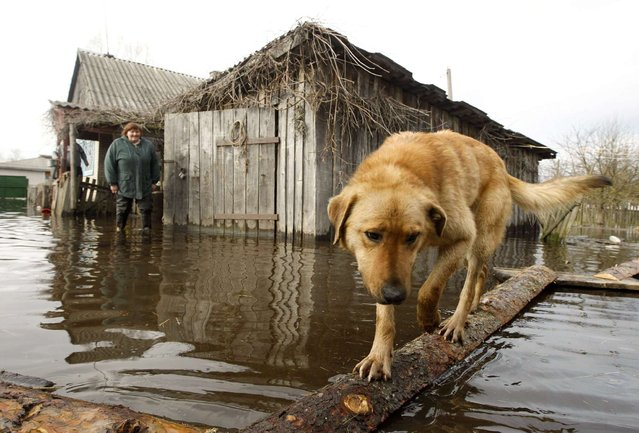 A dog and a woman are seen in a flooded courtyard as water from the Prypyat river overflows its banks during spring flooding in the village of Khlupin, some 270 km (168 miles) south of Minsk, Belarus, on April 15, 2013. (Photo by Vasily Fedosenko/Reuters)