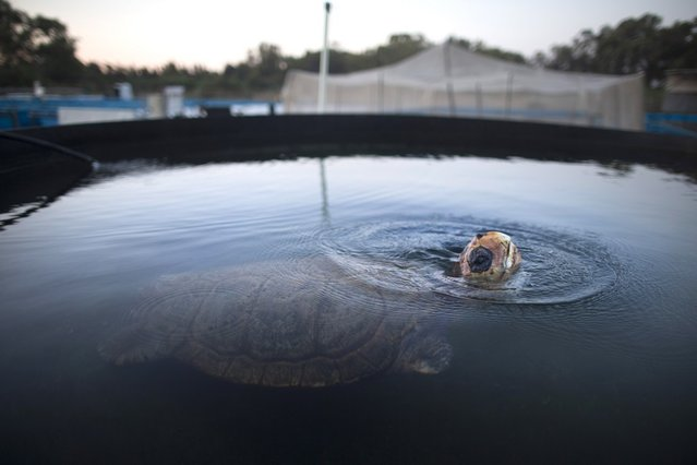 A Loggerhead sea turtle named Gal Handless swims in a water Tank at the rescue center for sea turtles before being transferred to the Istanbul Aquarium on May 29, 2013 in Michmoret, Israel. The turtle was rescued after losing her front fins when caught in a fishing net in 2004. She was rehabilitated at the rescue center but could not be returned back to the sea and now after 9 years she is being transferred to her new home at the Istanbul Aquarium in Turkey.   (Photo by Uriel Sinai)