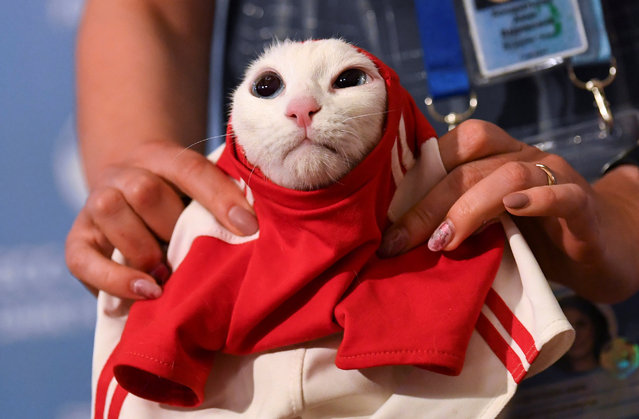 A participant dresses Achilles the cat, one of the State Hermitage Museum mice hunters, which attempts to predict the result of the opening match of the 2018 FIFA World Cup between Russia and Saudi Arabia during an event in Saint Petersburg, Russia June 13, 2018. (Photo by Dylan Martinez/Reuters)