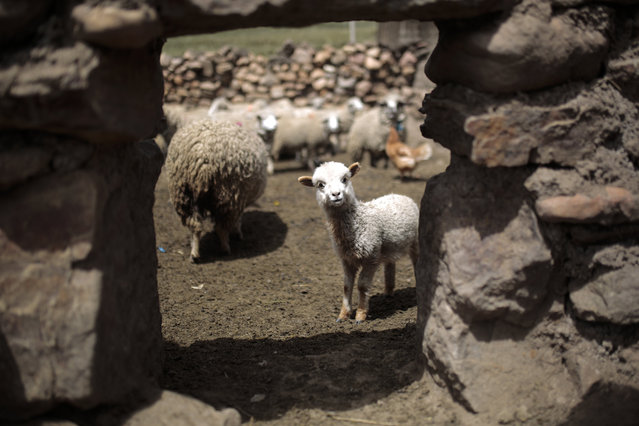 "A sheep walks inside a pen during the Andean traditional celebration for 'Martes de Challa' as part of the Carnival festivities on February 16, 2021 in Pizacaviña, La Paz, Bolivia. ""Martes de Challa"" (Ch'alla Tuesday) is one of the most important traditions in Bolivia to thank the Pachamama (Mother Earth) celebrated on the last day of Carnival. (Photo by Gaston Brito Miserocchi/Getty Images)"