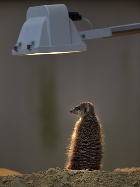A suricate warms itself under a lamp on a cold Friday, January 23, 2015 at the zoo in Cologne, Germany. (Photo by Martin Meissner/AP Photo)