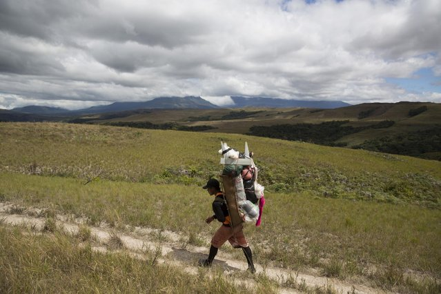 A Pemon indigenous porter walks on the road to Mount Roraima, near Venezuela's border with Brazil January 13, 2015. Once impenetrable to all but the local Pemon indigenous people, now several thousand trekkers a year make the six-day hike across Venezuela's savannah, through rivers, and up a narrow path that scales Mount Roraima's 600-meter cliff-faces. (Photo by Carlos Garcia Rawlins/Reuters)