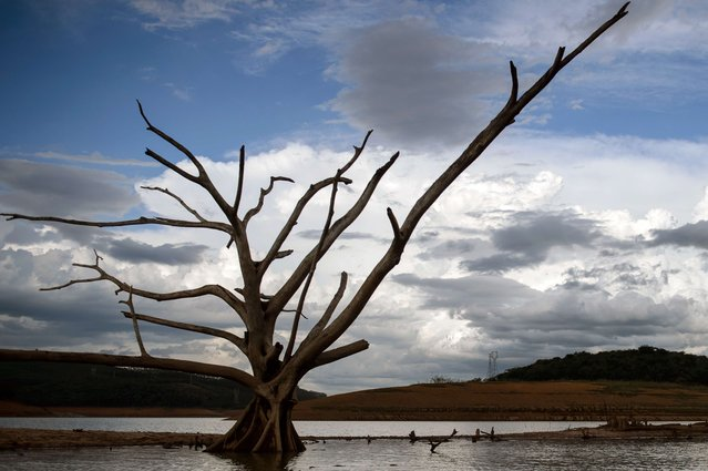 View of a dead tree – normally underwater – at Funil Hydroelectric Plant reservoir, in Resende, about 160km west from Rio de Janeiro, Brazil, on February 3, 2015. A severe drought – the worst in the country since 1930 – has hit Brazil's three most populous states: São Paulo, Rio de Janeiro and Minas Gerais. (Photo by Yasuyoshi Chiba/AFP Photo)
