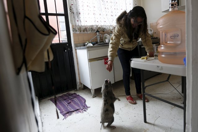 Rocky, a seven-month-old mini pig, receives a piece of apple from his owner in the kitchen, in Mexico City, December 23, 2015. (Photo by Edgard Garrido/Reuters)