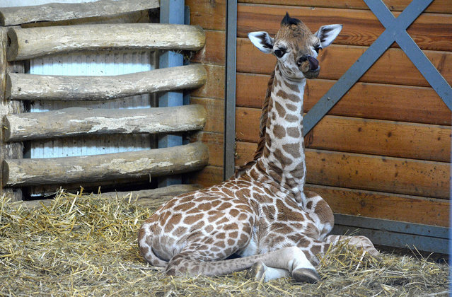 """A six-days young baby giraffe Ikinya is pictured at the """"Giraffe House"""" in the Zoo and Botanic Garden of Budapest on February 6, 2015. The new born animal was born on January 31 by his seven-year old mother Ingrid from Prague zoo. (Photo by Attila Kisbenedek/AFP Photo)"""