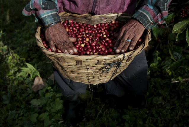 A man of the Nicaraguan ethnic tribe Sumos collects coffee berries at the Nogales farm in Jinotega, Nicaragua January 7, 2016. (Photo by Oswaldo Rivas/Reuters)