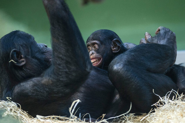 A small chimpanzee cuddles with its mother in its enclosure at the zoo in Berlin, Germany, 20 January 2016. In the face of winter temperatures, the apes are only allowed to be in the warm interior inclosures. (Photo by Paul Zinken/EPA)