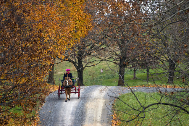 Fora Hillman of Bloomfield, Va., drives her welsh pony along Willisville Road in Western Loudoun County, Monday, November 12, 2018. (Photo by Douglas Graham/AP Photo)