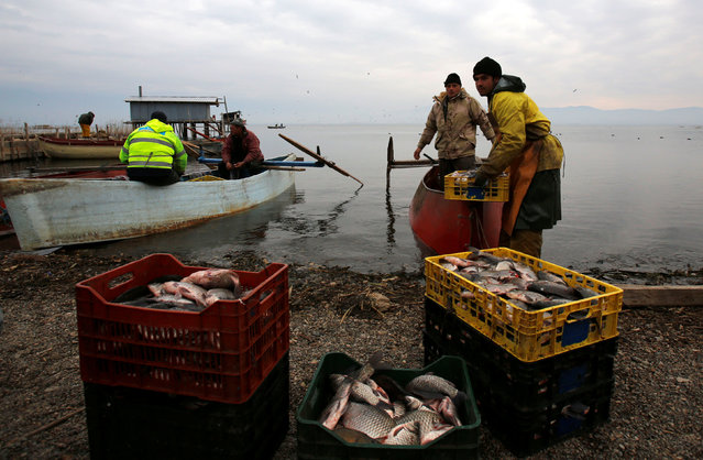 Fishermen collect their catch from a net at Dojran Lake, Macedonia, January 4, 2017. Fish from the lake is a traditional food for locals for orthodox Christmas eve, which falls on January 6. The lake faced sustainability issues during the 1990s due to drought and excessive use of its water but has since recovered after measures were taken to replenish and sustain water levels, according to local media. Dojran Lake is one of the three natural lakes in Macedonia, and also the warmest. It is said it is also the richest lake in fish in Europe. (Photo by Ognen Teofilovski/Reuters)