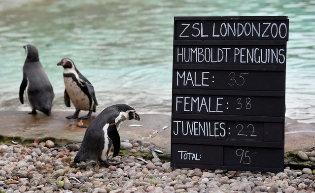 Penguins are seen during an event to publicise the annual stocktake at London Zoo in London, Britain, January 3, 2019. (Photo by Toby Melville/Reuters)