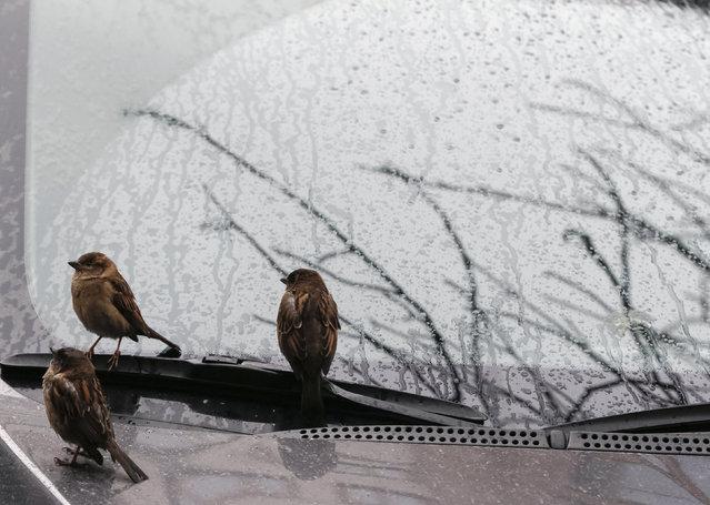 Sparrows perch on a car's windshield during a rain shower in Kiev, Ukraine, March 1, 2016. (Photo by Gleb Garanich/Reuters)