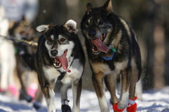 Matthew Failor's team leaves the restart of the Iditarod Trail Sled Dog Race in Willow, Alaska March 6, 2016. (Photo by Nathaniel Wilder/Reuters)