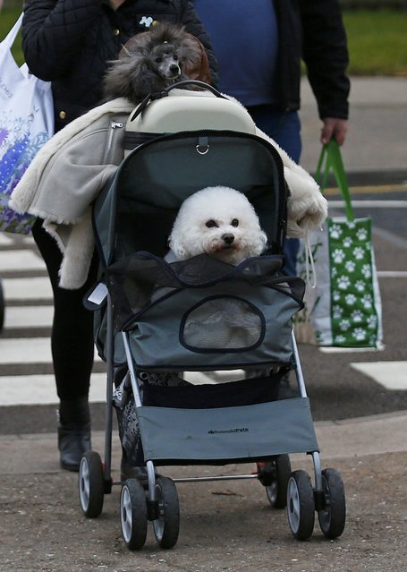 An owner arrives with Bichon Frise in a pram for the first day of the Crufts Dog Show in Birmingham, Britain March 10, 2016. (Photo by Darren Staples/Reuters)