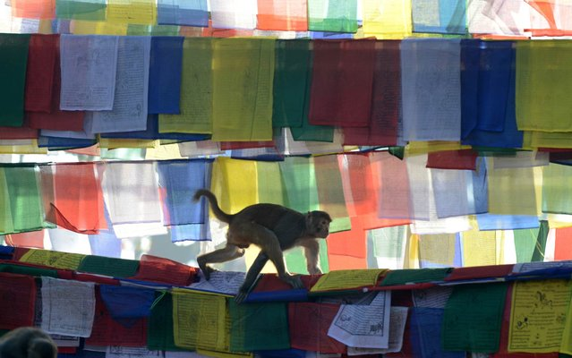 A monkey walks over prayer flags at the Saraswati temple on the occasion of Basanta Panchami in Kathmandu on February 4, 2014. Basanta Panchami is a Hindu festival which marks the arrival of spring in Nepal where devotees worship the Hindu Goddess of Education, Saraswati, and pray for knowledge and education. (Photo by Prakash Mathema/AFP Photo)