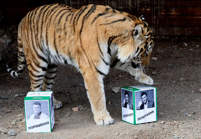 Bartek, a male Amur tiger, chooses a box with a photograph of candidate  Volodymyr Zelenskiy while attempting to predict the winner of the Ukrainian presidential election, as a box with photo of candidate Petro Poroshenko is placed nearby, during an event at the Royev Ruchey Zoo, in Krasnoyarsk, Russia April 15, 2019. (Photo by Ilya Naymushin/Reuters)