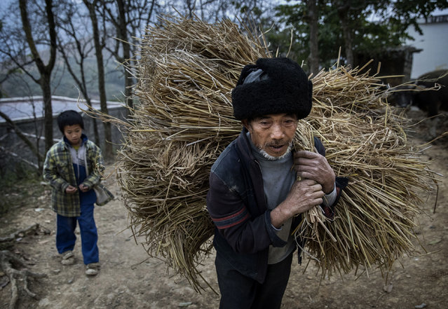 """""""Left behind"""" child Luo Gan, 10, watches as his grandfather Luo Yingtao,64, carries hay as they do chores  on December 16, 2016 in Anshun, China. (Photo by Kevin Frayer/Getty Images)"""