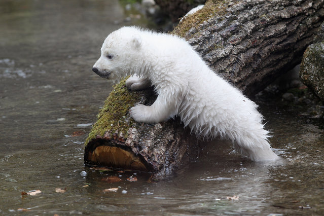 One of the 14 week-old twin polar bear babies is pictured during the first presentation to the media in Hellabrunn zoo on March 19, 2014 in Munich, Germany. (Photo by Alexandra Beier/Getty Images)