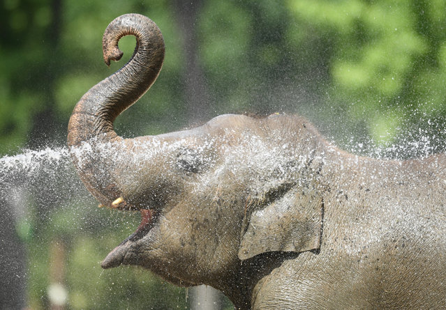 A zookeeper uses water to cool off elephants, as a heatwave is expected to reach the city, at the Berlin Zoo, Germany on June 25, 2019. (Photo by Annegret Hilse/Reuters)